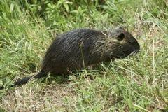 Nutria-Ratte stockfoto