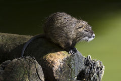 Nutria by the river Royalty Free Stock Photo