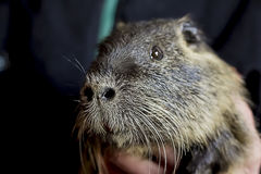 Nutria, a rodent, brown, close-up stock photography