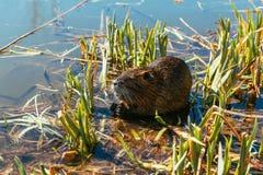 Nutria senta-se no junco na lagoa imagem de stock royalty free