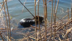 Nutria swim and hide in reed.  stock footage