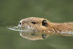 Nutria swimming Stock Photo