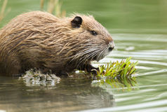 Nutria swimming. In the river stock photography