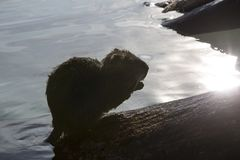 Nutria. Swimming in the water stock photos