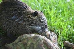 Nutria, tail beaver. A nutria, tail beaver in grass Stock Photos