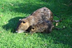 Nutria. A nutria, tail beaver in grass Stock Photo