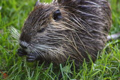 Nutria. A nutria, tail beaver in grass Stock Images