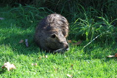 Nutria. A nutria, tail beaver in grass Stock Photography