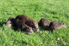 Nutria. A nutria, tail beaver in grass Stock Photos
