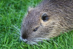 Nutria. A nutria, tail beaver in grass Royalty Free Stock Photography