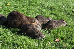 Nutria. A nutria, tail beaver in grass Royalty Free Stock Image