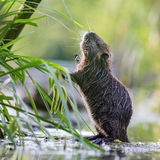 Nutria trying to reach a blade of grass Royalty Free Stock Images