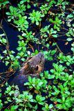 Nutria with water plants. A nutria (Myocastor coypus) nibbling on water plants in a Houston bayou Stock Images