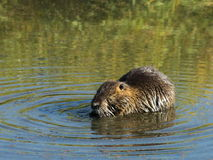 Nutria in Western Washington Royalty Free Stock Images