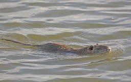 Nutria in a Wetland Pond. Near Port Aransas, Texas stock photos