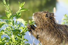 Nutria in the wild Royalty Free Stock Photo