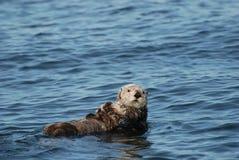 Nutria y perrito de mar Fotos de archivo