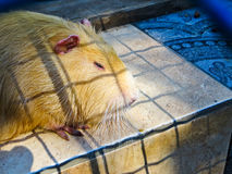 Nutria in the zoo. White nutria in the zoo stock photography