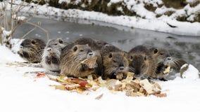 Nutrias в зиме Стоковое Изображение RF