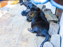 Nutrias в зоопарке Стоковая Фотография RF