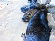 Nutrias в зоопарке Стоковые Фото