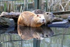 Nutrias или крысы реки Стоковое Изображение RF