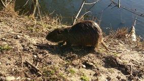 Nutrias au lac Image libre de droits