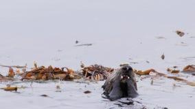 Nutrias de mar almacen de metraje de vídeo
