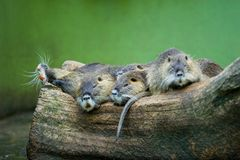 Nutrias on a log Stock Images