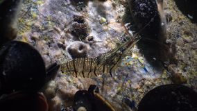 Nutrición de los elegans del Palaemon de la gamba El Mar Negro ucrania almacen de video