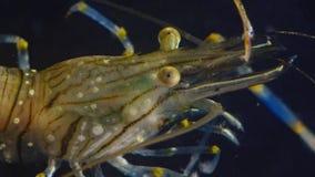 Nutrición de los elegans del Palaemon de la gamba, lanzamiento macro almacen de video
