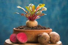 Nutrición vegetal sana de las remolachas frescas alta fotos de archivo