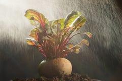 Nutrición vegetal sana de las remolachas frescas alta fotografía de archivo
