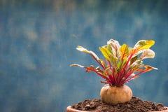Nutrición vegetal sana de las remolachas frescas alta imágenes de archivo libres de regalías