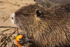 Nutrie (bobroszczur) Zdjęcie Stock