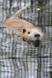 Nutrie lub rzeczny szczur Zdjęcia Stock