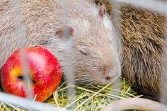 Nutrie z jabłkiem Fotografia Royalty Free