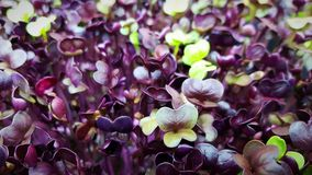 Purple Rambo Radish Microgreens Royalty Free Stock Images