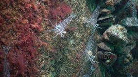 Nutrition des elegans de Palaemon de crevette rose La Mer Noire l'ukraine banque de vidéos