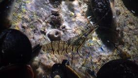 Nutrition des elegans de Palaemon de crevette rose La Mer Noire l'ukraine clips vidéos