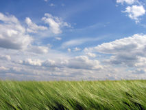 Nutrition field. Green field and blue sky Royalty Free Stock Photo
