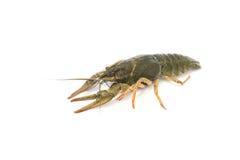 Nutrition Live Crayfish sur un fond blanc Photographie stock libre de droits