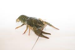 Nutrition Live Crayfish sur un fond blanc Photo libre de droits