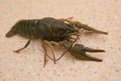 nutrition Live Crayfish sur une table de marbre Photos stock