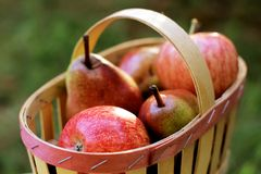 Fruit basket with apples and pears. Nutritious and tasty apples and pears in a fruit basket outdoor. Health foods : dietetic, vitamin food ! activity. Fall royalty free stock images