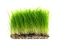 Nutritious Tray Of Wheatgrass Royalty Free Stock Photos