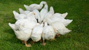 Nutrizione bianca del gruppo dei gooses in azienda agricola stock footage