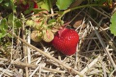 Nutrizione deliziosa della frutta della fragola del giacimento di agricoltura organica della paglia Fotografia Stock Libera da Diritti