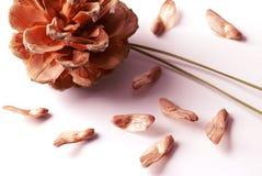nuts сосенка стоковые изображения