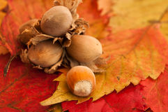 Nuts on autumnal leaves Royalty Free Stock Image